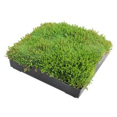 Wallbarn M-Tray SEDUM Green Roof Module 500x500x100mm