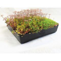 Wallbarn M-Tray SEDUM / Wildflower Green Roof Module 500x500x100mm